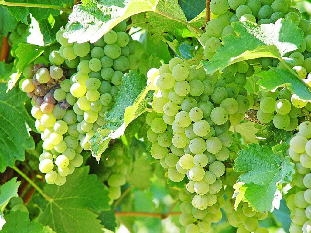 Weinrebe im Elfenhof Weingarten